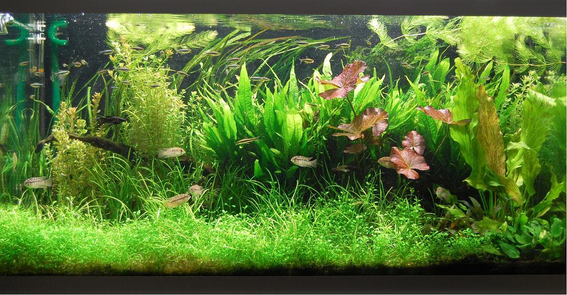 Fadenalgen bei 0,85 W/ltr. : Algen - Page 2 - Aquascaping - Aquarium ...